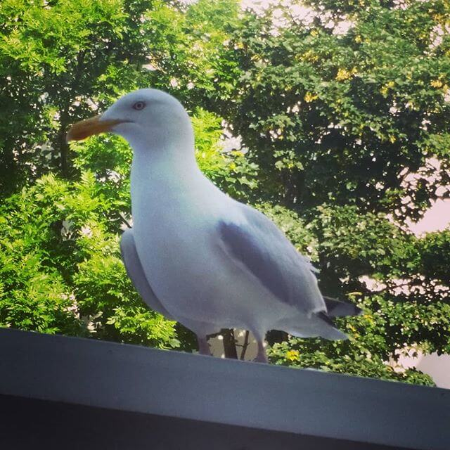 This one looks like trouble to me…. #seagull #seagulls #brighton #hove #hoveactually #brightonandhove