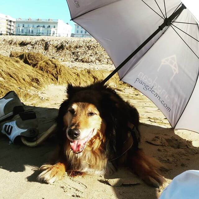 Dylan dog very much appreciating the shade from the Pangdean umbrella on the beach this morning.  #dylandog #brighton #hove #hovelawns #brightonandhove #pangdeanbarn #ofossey #brunswick #shopdog